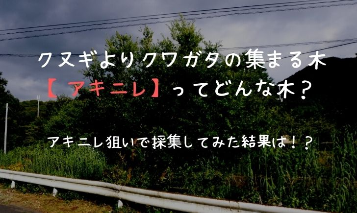 アキニレ クワガタ